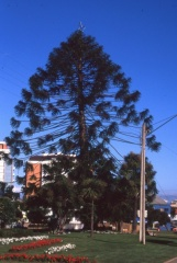 Monkey Puzzle Xmas tree on Chiloe Island! -- <p>