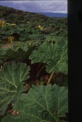 Nalca (Gunnera tinctoria)  -- <p> Vast expanses of Nalca grow on the sand dunes, flowering Berberis darwinii behind!</p>