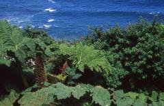 Nalca (Gunnera tinctoria) and Fuchsia magellanica -- <p> Nalca (Gunnera tinctoria) and Fuchsia magellanica</p>