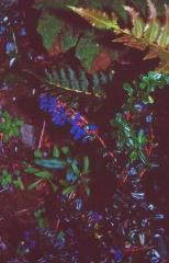 Berberis, Cucao, Chiloe Island -- Berberis, Cucao, Chiloe Island