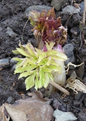P1000237 -- <p> Angelica atropurpurea / Purplestem angelica</p>