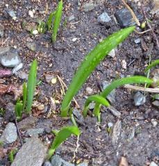 P1000470 -- <p> Allium paradoxum</p>