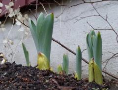 P1000448 -- <p> Persian shallot, Allium altissimum</p>