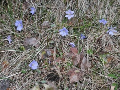 -- Hepatica nobilis doesn't grow wild out here, planted .