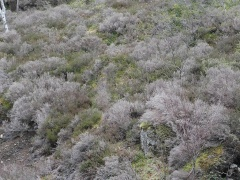 -- There was an extreme drought in this area in winter 2013-2014 (which caused several large winter fires) and huge areas of heather / lyng (Calluna vulgaris) had died throughout Hitra, a sad sight.... Juniper / einer had coped much better with the drought.