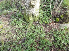 -- Happy to find that ground elder / skvallerkål has even colonised here :)
