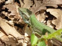P1030593 -- Erhard's wall lizard (Podarcis erhardii)