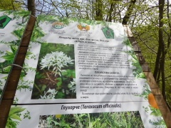 P1030579 -- Allium ursinum is sadly not ommon in Strandzha, more so on the Turksih side