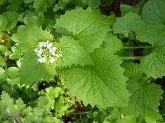P1030500 -- Brashlyan: Alliaria petiolata