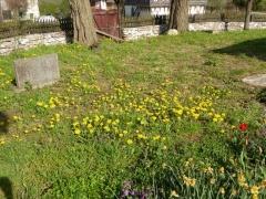 P1030486 -- Brashlyan church yard mid in the Dandelion flowering season!