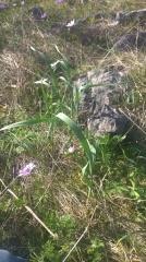 25 -- Allium spp.