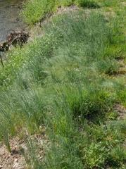 P1390457 -- Allium vineale?