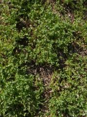P1390426 -- Valerianella - lamb's lettuce..loads!