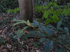 P1030465 -- Prunus laurocerasus