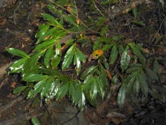P1030454 -- Prunus laurocerasus