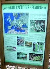 P1030446 -- About the tertiary relic plants of Strandzha Taxus baccata, Ilex colchica,  Laurocerasus officinali etc. (the glaciers didn't reach this far)