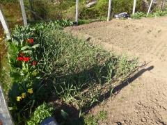 P1030392 -- Alliums