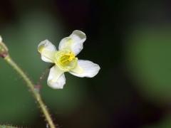 P1390349 -- Epimedium pubigerum