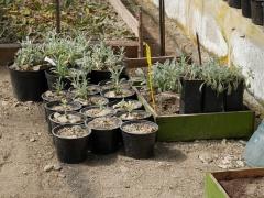 P1390315 -- WOW: Kathcul Garden nursery - Sideritis syriaca!