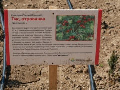 P1390312 -- Kathcul Garden nursery: Taxus baccata