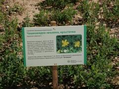 P1390308 -- Kathcul Garden nursery: Hypericum calycinum