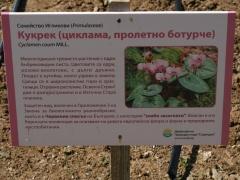 P1390302 -- Kathcul Garden nursery: Cyclamen coum