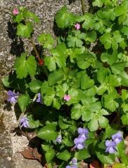 P1390255 -- Geranium and Viola
