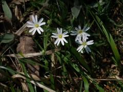 P1390216 -- Stellaria