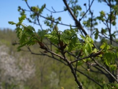 P1390212 -- Quercus