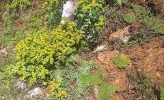 WP 20150418 17 22 43 Smart -- <p> Euphorbia and Verbascum</p>