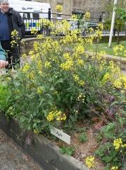 P1410291 -- Flowering kales