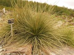 Aciphylla subflabellata