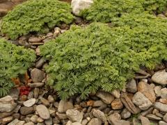 Oxalis enneaphylla f alba