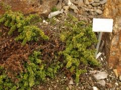 Prostanthera cuneata / Australian Mint Bush