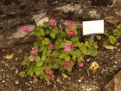 Rubus arcticus x stellatus / Allåkerbær