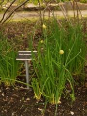 Allium yunnanense (a good white flowered form of Allium schoenoprasum / Chives / Gressløk)