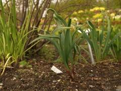Allium douglasii
