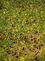 Azorella fuegiana