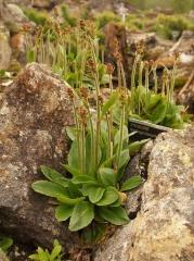 Saxifraga hieracifolia looks similar to edible Saxifraga pensylvanica