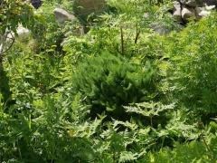 P1420176 -- Meum athamanticum / Spignel Meu / Bjørnerot is a great haedy perennial herb that is widespread in Norwegian gardens!