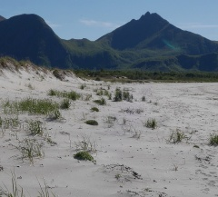 A row of Honckenya mounds