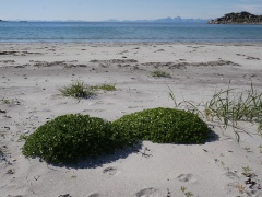 A pair of Honckenya mounds -- Honckenya peploides (Sandarve/ Sea Sandwort,Sea Chickweed) is an exellent edible which forms quite high mounds on beaches