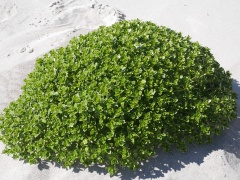 Honckenya peploides mound -- <p> Honckenya peploides (Sandarve/ Sea Sandwort,Sea Chickweed) is an exellent edible which forms quite high mounds on beaches</p>