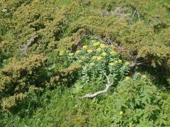 Roseroot and Juniper -- Rhodiola rosea