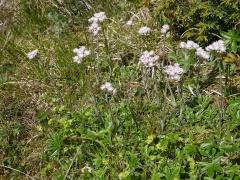 Antennaria dioica --  (Mountain everlasting/Kattefot)
