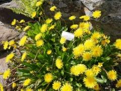 Taraxacum hjeltii  -- Taraxacum hjeltii (Finnmark Dandelion; Finnmarksløvetann / Praktløvetann)