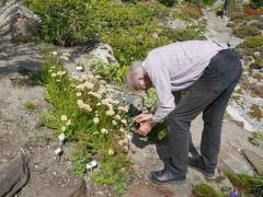 Garden director Arve Elvebakk and Taraxacum pseudoroseum