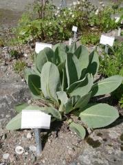 Ligularia alpigena