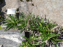 Morina nepalensis  -- I used to grow M. longifolia, Incense plant!