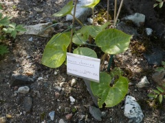 Asarum chinense